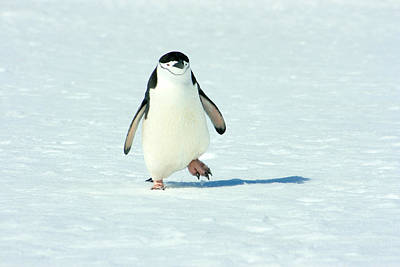 Chinstrap Penguin Running Poster by Amanda Stadther