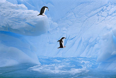 Chinstrap Penguins Jump Into Ocean From Poster by Johnny Johnson
