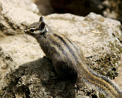 Poster featuring the photograph Chipmunk On A Rock by Belinda Greb