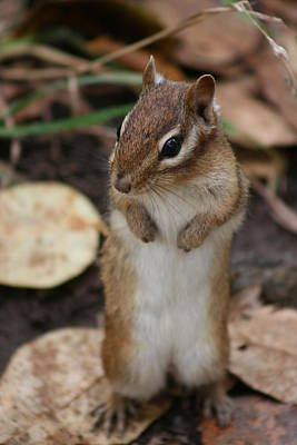 Poster featuring the photograph Chipmunk by Paula Brown