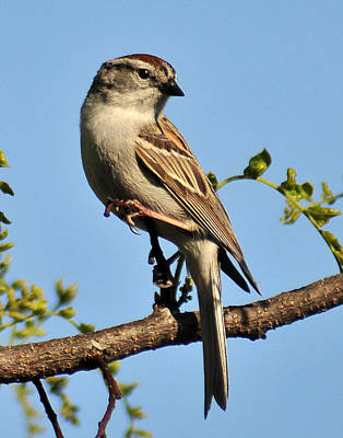 Chipping Sparrow 246 Poster