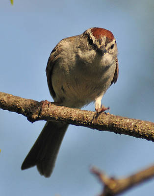 Chipping Sparrow 265 Poster