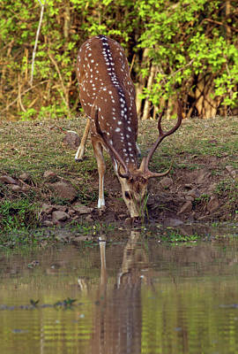Chital Stag Drinking At The Waterhole Poster