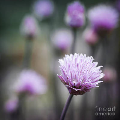 Chives Flowering II Poster