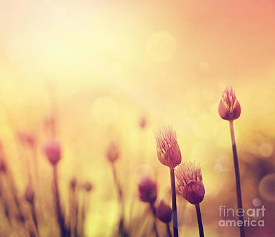 Chives Flowers Poster
