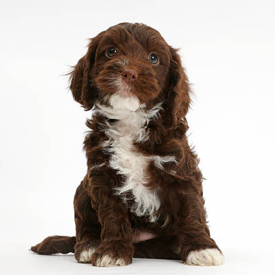 Chocolate Cockapoo Puppy Poster