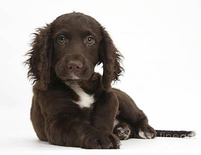 Chocolate Cocker Spaniel Puppy Poster