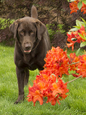 Chocolate Lab In Azaleas  Poster by Jean Noren