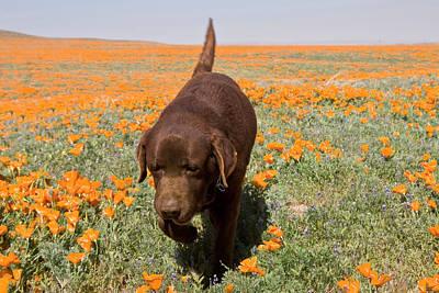 Chocolate Labrador Retriever Walking Poster