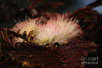 Chocolate Mimosa Flower Poster by Mark McReynolds