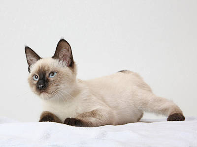 Chocolate Point Siamese Poster