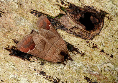 Chocolate-tip Moth Poster by Nigel Downer