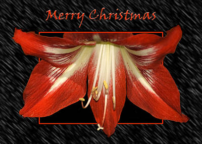 Christmas Amaryllis Poster by Carolyn Marshall