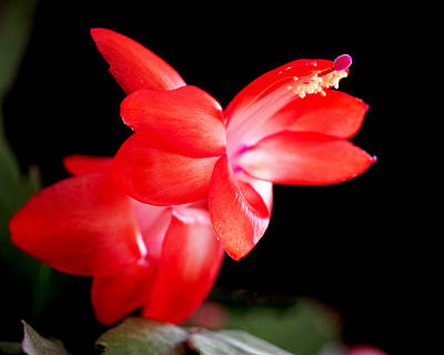 Christmas Cactus Flower Poster by Rona Black