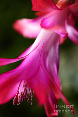 Christmas Cactus In Bloom Poster by Thomas R Fletcher
