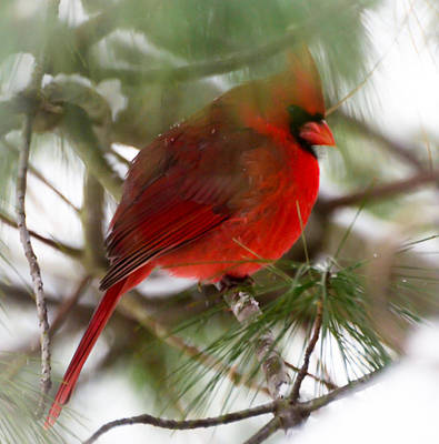 Poster featuring the photograph Christmas Cardinal by Kerri Farley