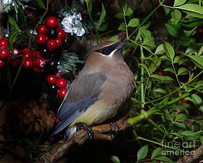 Christmas Cedar Waxwing Poster