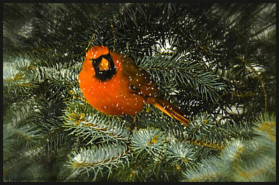 Christmas Male Cardinal In Pine Poster