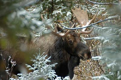 Christmas Moose Poster by Lee Kirchhevel