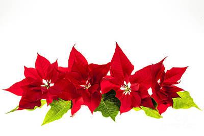 Christmas Poinsettias Poster by Elena Elisseeva