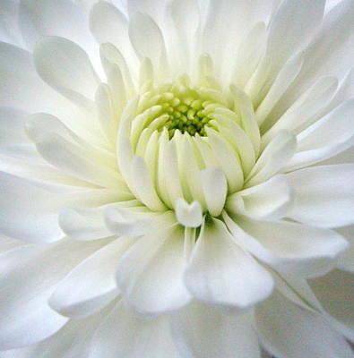 Chrysanthemum 1 Poster