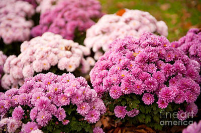 Many Pink Dendranthema Or Chrysanthemum Blooming  Poster by Arletta Cwalina