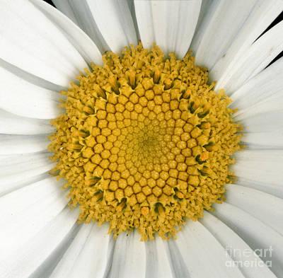 Chrysanthemum Closeup Poster by Nigel Cattlin