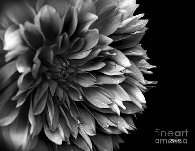 Chrysanthemum In Black And White Poster by Eena Bo