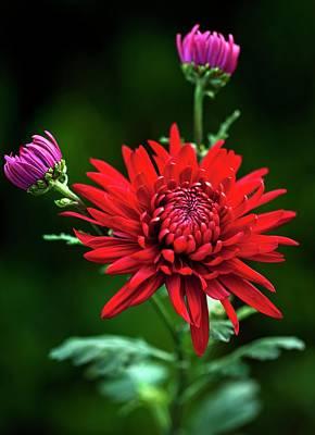 Chrysanthemum 'red Mist' Poster