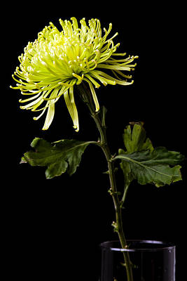 Poster featuring the photograph Chrysanthemum by Sennie Pierson
