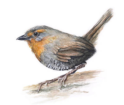 Chucao Tapaculo Watercolor Poster by Olga Shvartsur