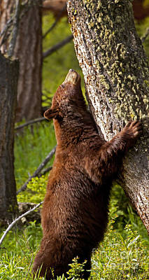 Poster featuring the photograph Cinnamon Boar Black Bear by J L Woody Wooden
