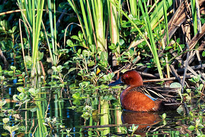 Cinnamon Teal And Dragonfly Poster