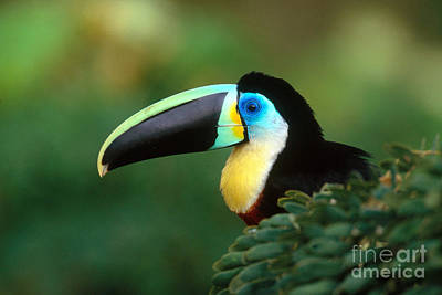 Citron-throated Toucan Poster