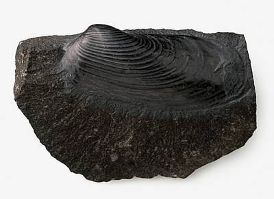 Clam Shell Fossilised In Black Limestone Poster by Dorling Kindersley/uig
