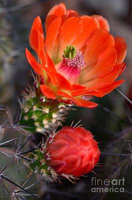 Claret Cup Cactus Poster