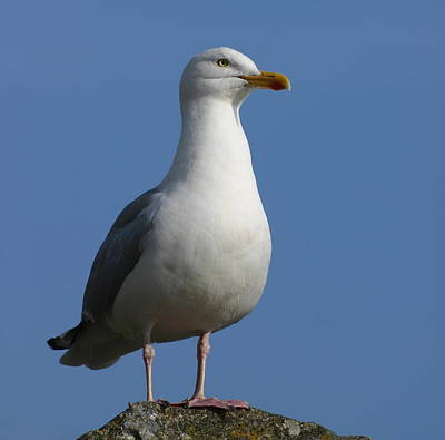 Poster featuring the photograph Classical Seagull by Karo Evans