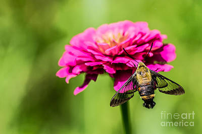 Clearwing Moth Poster by Debbie Green
