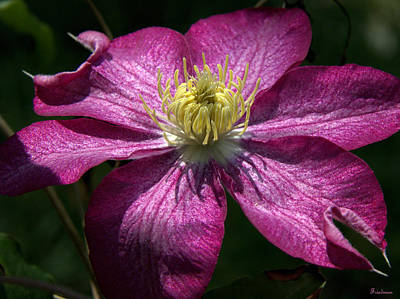 Clematis Aglow Poster