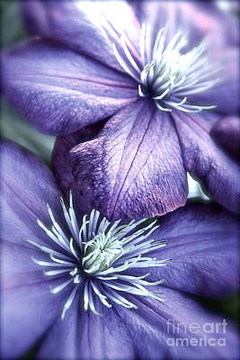 Clematis Poster by Linda Bianic