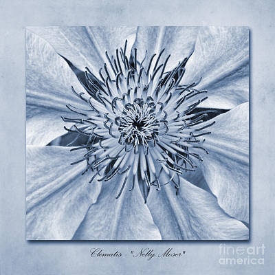 Clematis Nelly Moser Cyanotype Poster by John Edwards