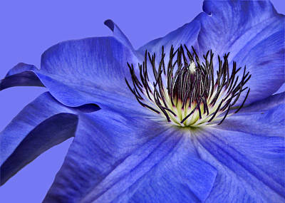Clematis On Blue Poster by Nikolyn McDonald