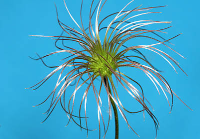 Clematis Seed-head Abstract Poster