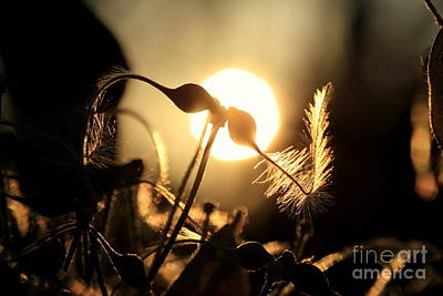Clematis - Sunset Poster