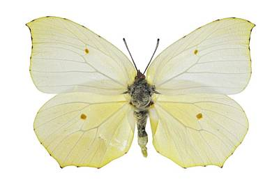 Cleopatra Butterfly Poster