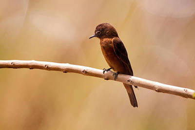 Cliff Flycatcher Hirundinea Ferruginea Poster