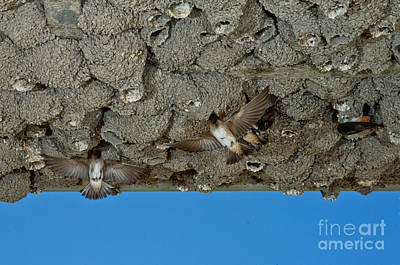 Cliff Swallows At Nests Poster