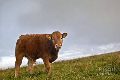 Cliffs Of Moher Brown Cow Poster