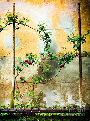 Poster featuring the photograph Climbing Rose Plant by Silvia Ganora