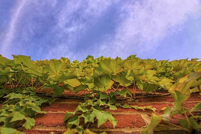 Climbing The Walls - Ivy - Vines - Brick Wall Poster by Jason Politte